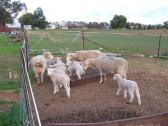 Merino and dorper sheeps available for sale Whatsapp +27734531381