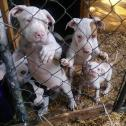 Pitbull terrier puppies for sale whatsapp +27626321226