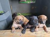 Pure bred Boerboel pups