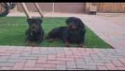 Rottweiler ready for new loving home