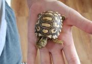 New born leopord tortoise hatchlings for sale