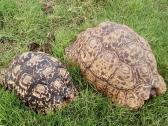 Adult tortoises for sale