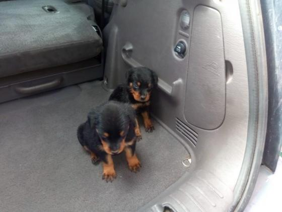 3x male rottweilers available in Cape Town, Western Cape