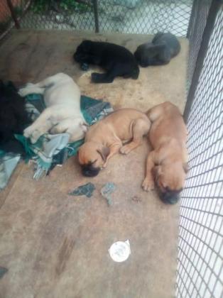 Beautiful boerboel puppies in Durban, KwaZulu-Natal
