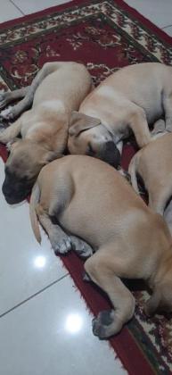 Boerboel puppies vaccinated