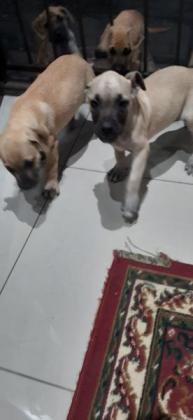 Boerboel puppies 2×Females 2×Males