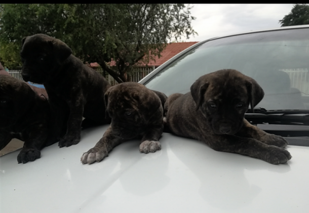 Boerboel puppies available in Bloemfontein, Free State