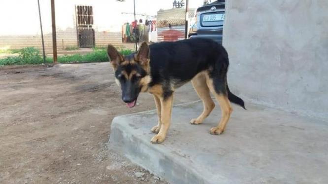 German Shepherd in Bloemfontein, Free State