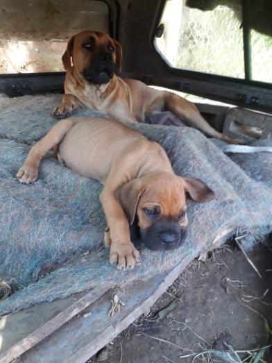 Huge boerboel pups in Durban, KwaZulu-Natal