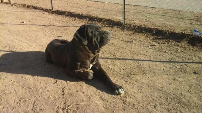 Neapolitan Mastff (Not pure breed) in Bloemfontein, Free State