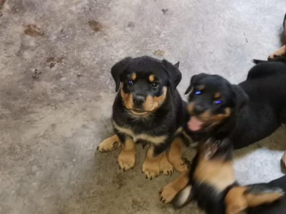Rottweiler Puppies 2 gorgeous boys and 2 beautiful girls in Johannesburg, Gauteng