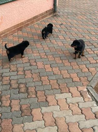 Rottweiller Puppies available in Alberton, Gauteng