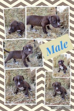 Staffordshire puppies in Oudtshoorn, Western Cape