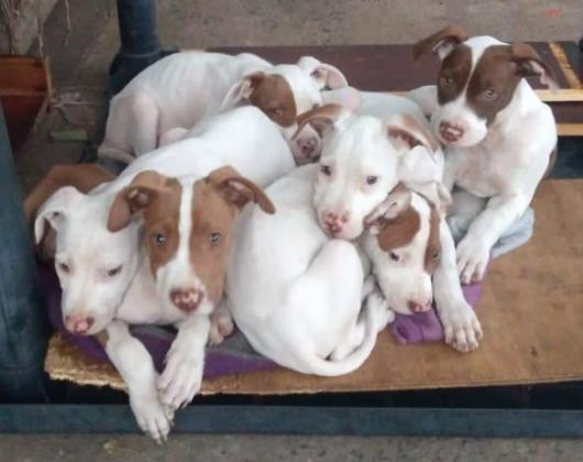 American Pitbull Terrier Pups - Red Nose