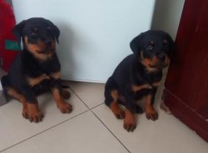 2x Rottweiler pups available females