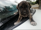 Boerboel puppies available