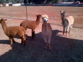 Alcapas/Llamas For Sale whatsapp +27734531381