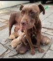 Pitbull puppies ready