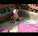 Available Pitbull puppies