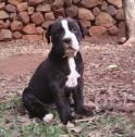 Pitbull Terrier Registered Puppies for sale