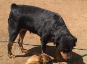 Female Rottweiler available