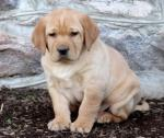 Labrador Retriever Puppies females and males left