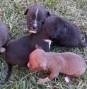 Pitbull terrier pup for sale