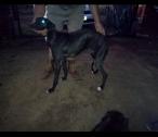Windhound puppies