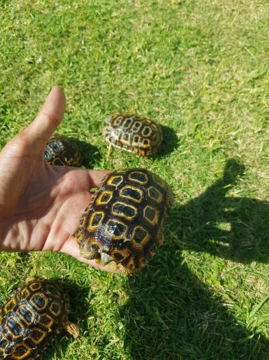 beautiful captive bred hinge back tortoises in Meyersdal, Gauteng