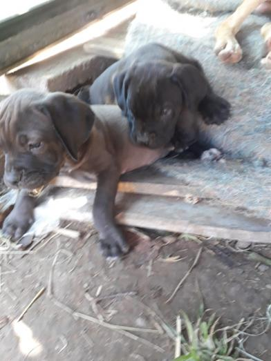Boerboel black and brown available