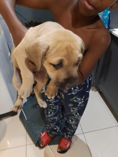 Boerboel Puppies for Sale in Pietermaritzburg, KwaZulu-Natal
