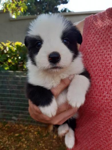 Border Collie Puppies in Meyerton, Gauteng