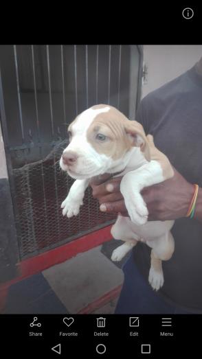 Genuine pit bull puppies in Umlazi, KwaZulu-Natal
