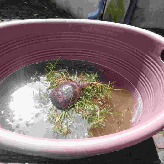 Helmet turtle/Marsh terrapin