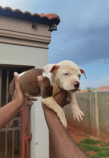 Pitbull puppies 6 females and 3 males in Randfontein, Gauteng
