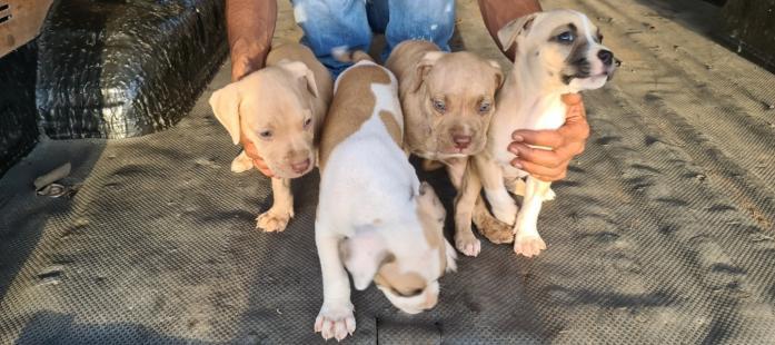 Pitbull puppies 2 females and 1 male in Phoenix, KwaZulu-Natal