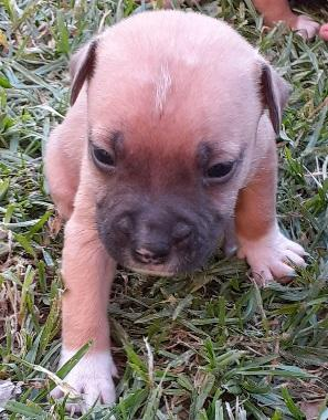Pitbull puppies ready to go in Vanderbijlpark, Gauteng