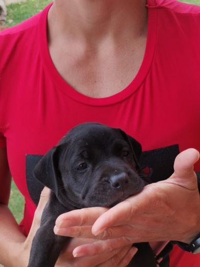 Pitbull pups in Bluff, KwaZulu-Natal