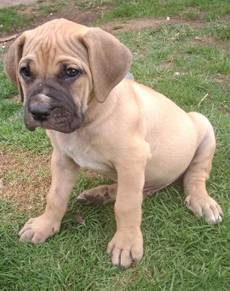 Pure Bred Boerboel Puppies for Sale in Germiston, Gauteng