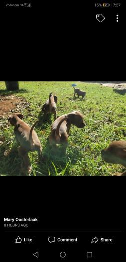 Putbull puppies in Pretoria, Gauteng