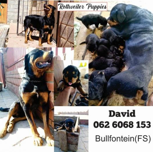 Rottweiler Puppies in Bultfontein, Free State