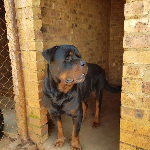 Rottweiler puppies available 10 weeks old in Benoni, Gauteng