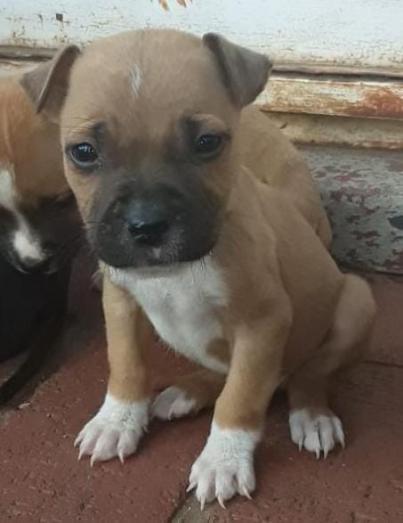 Pitbull pups in Vanderbijlpark, Gauteng