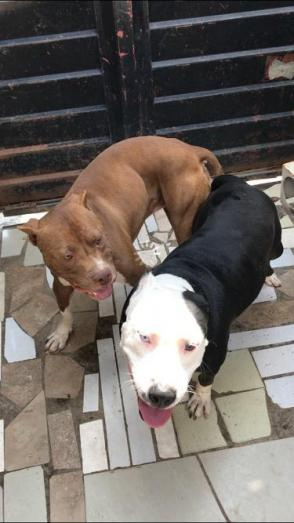 Tri-tone Pitbull Puppies in Kempton Park, Gauteng