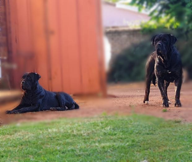 Cane Corso Puppies Available in Lenasia, Gauteng