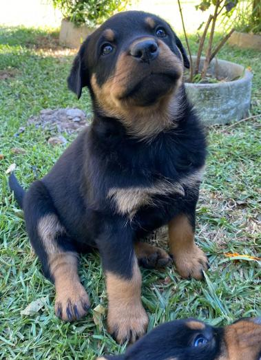 Rottweiler puppies for sale in Springs, Gauteng