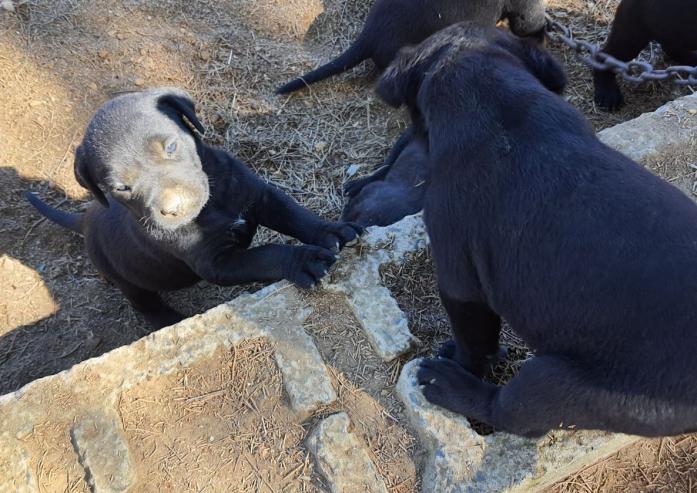 Rottador/Labrottie puppies for sale