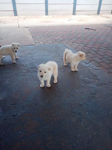 White alsatian puppies in Vanderbijlpark, Gauteng