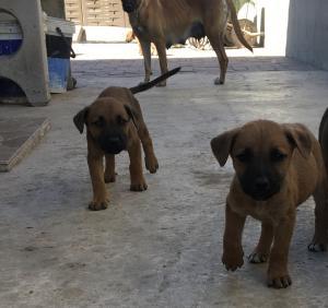 Seven Weeks old boerboel puppies for sale