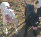 Adult American Pitbull Terriers for sale